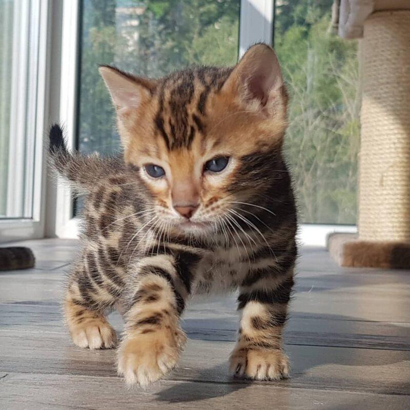 long hair bengal kitten for sale