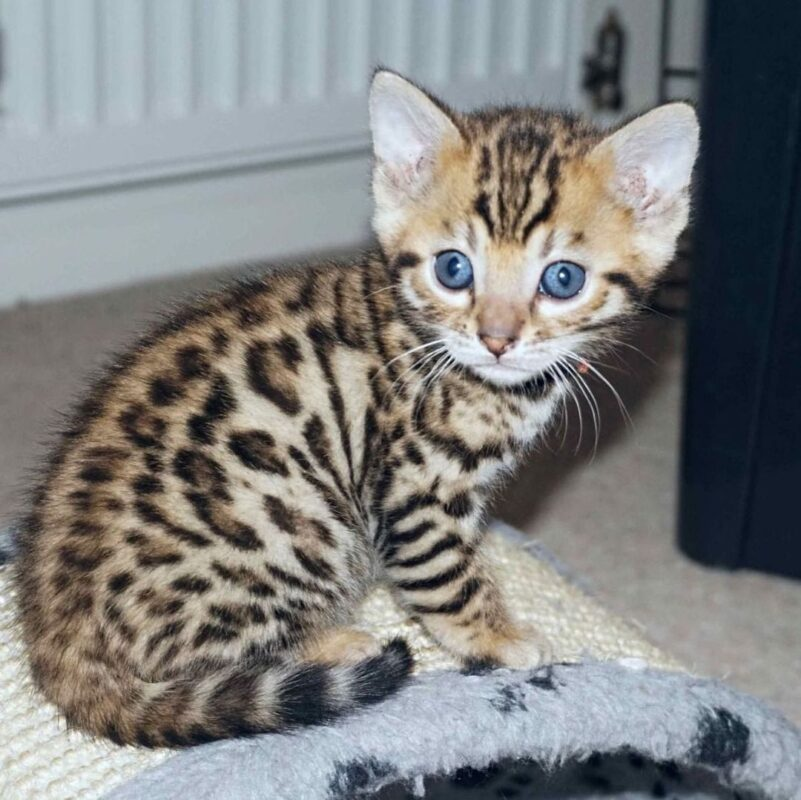 how much is a bengal cat for sale?